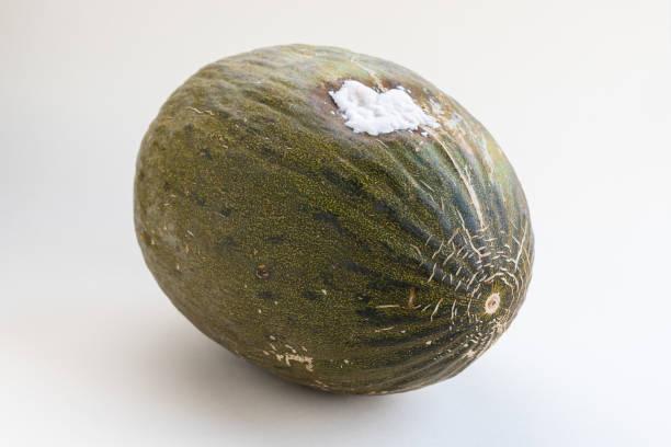 Rotten green Santa Claus melon stock photo