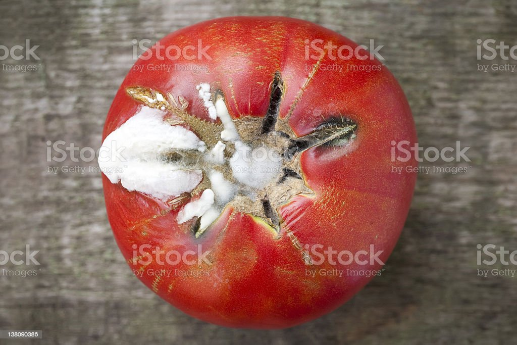 Rotten Moldy Tomato stock photo