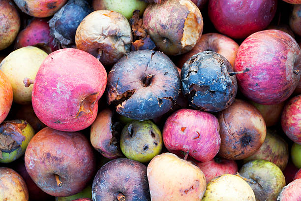 Rotten organic apples Rotten organic apples in winter. addle stock pictures, royalty-free photos & images