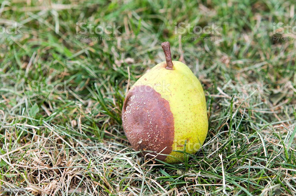rotten pears on straw stock photo