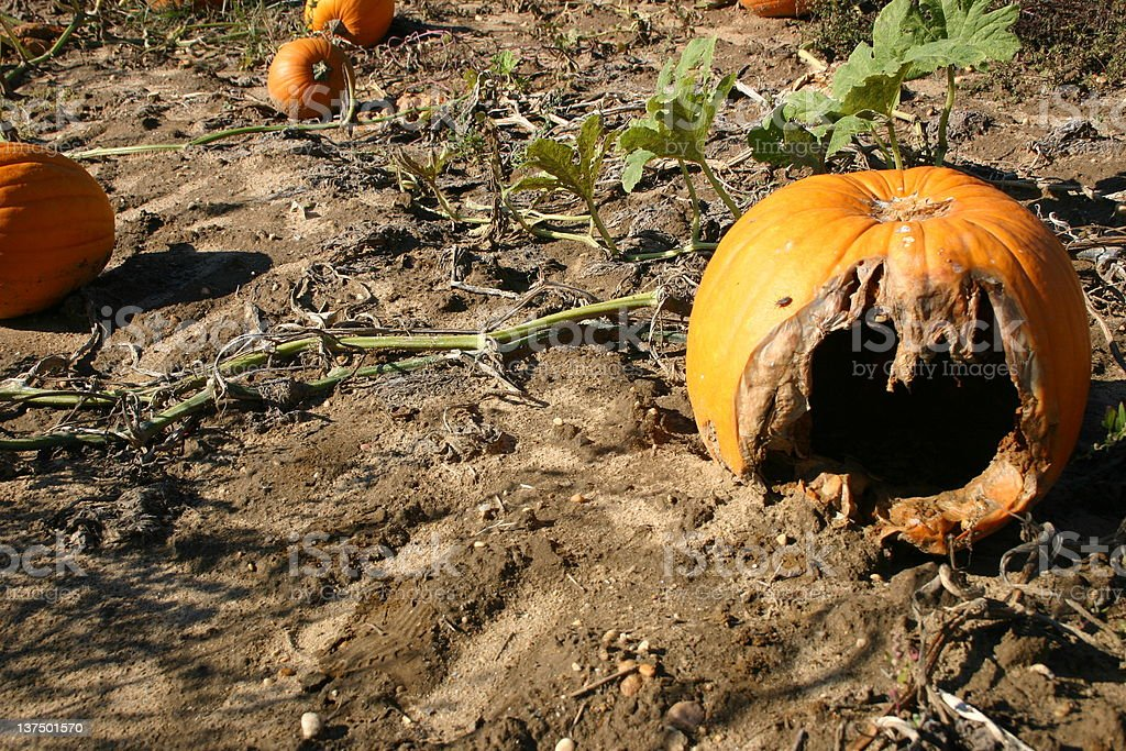 Rotten pumpkin royalty-free stock photo