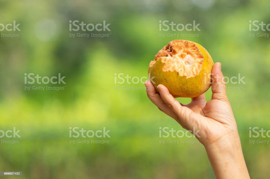 rotten ripe mango bitten by wild animal on hand