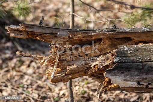rotten stump of sawn birch