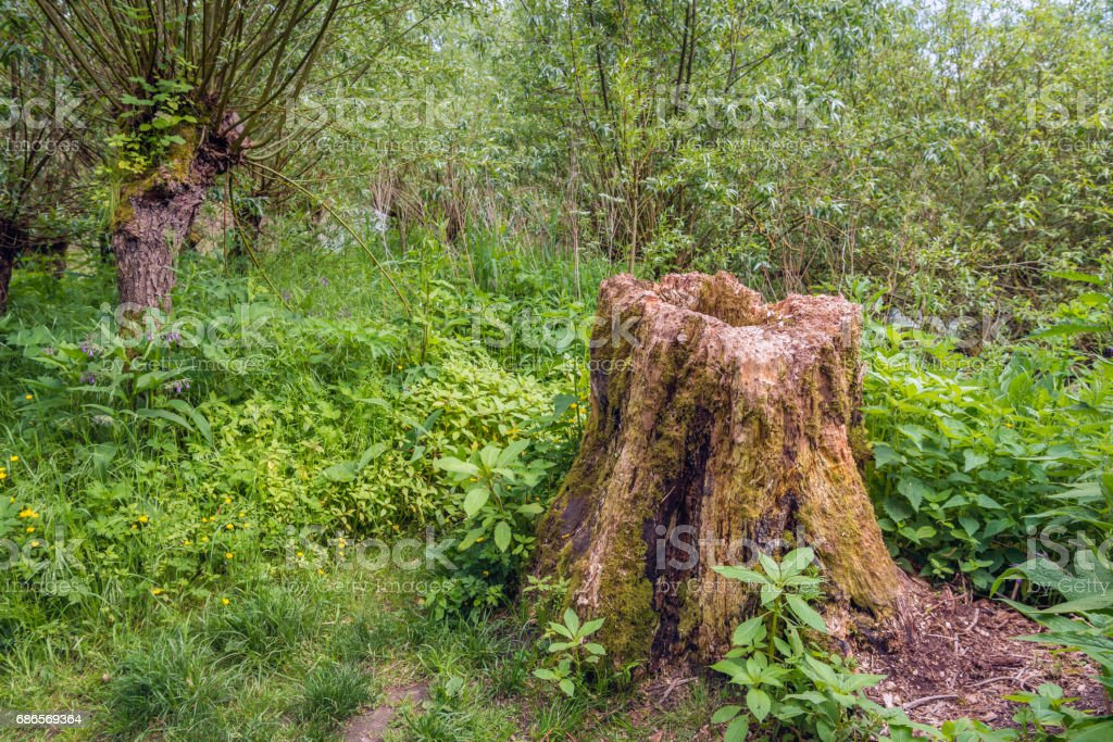 Rotten trunk in the woods royalty-free stock photo