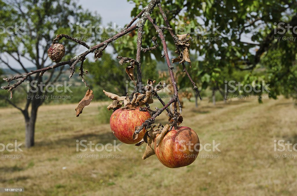 Rotting apples on a branch. royalty-free stock photo