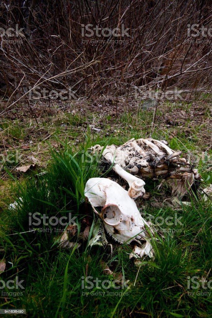 Rotting Mountain Sheep Skeleton stock photo