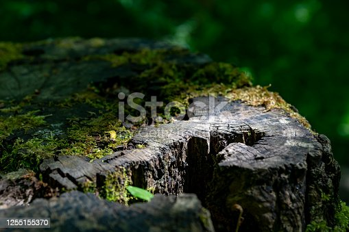 Rotting tree stump in a forest in Cambridgeshire.