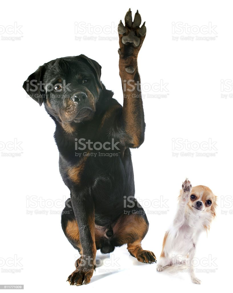 rottweiler and chihuahua stock photo