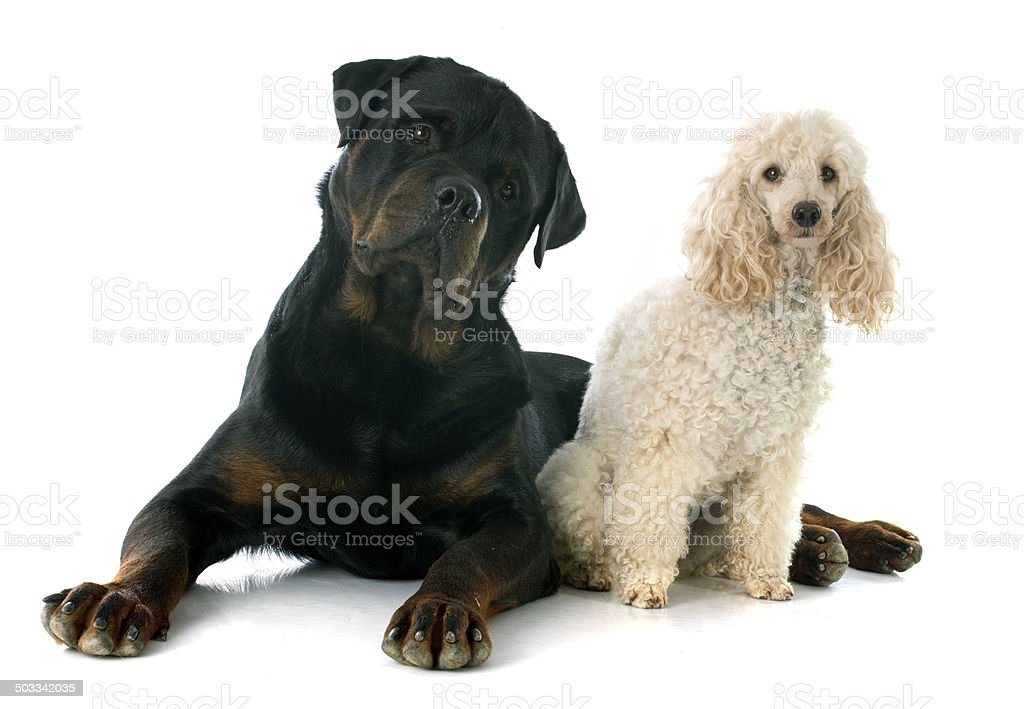 Rottweiler And Poodle Stock Photo Download Image Now Istock