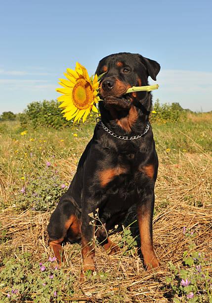 Resultado de imagen para 犬 rottweiler 庭の花をスニッフィング