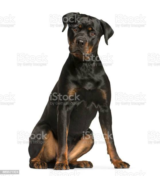 Rottweiler dog guard dog sitting and looking at the camera isolated picture id889521324?b=1&k=6&m=889521324&s=612x612&h=tmhmnwigvozkdpvihpg sexen8675pjjfeyy6krf bs=