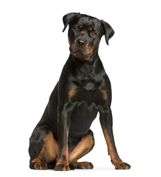 Rottweiler dog guard dog sitting and looking at the camera isolated picture id889521324?b=1&k=6&m=889521324&s=612x612&w=0&h=skc0n46mhuhm g3adaiefhmpkmgh8y1jrp5yu0wngi4=