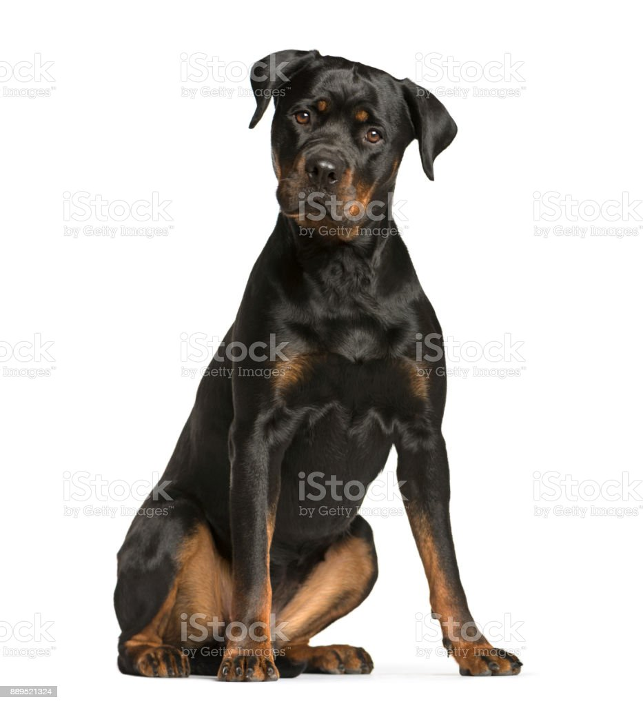 rottweiler dog, guard dog sitting and looking at the camera, isolated on white stock photo