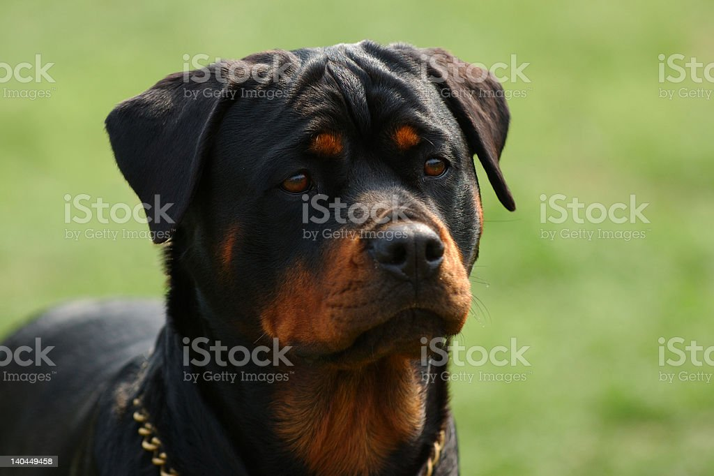Rottweiler dog looking at something in the park stock photo