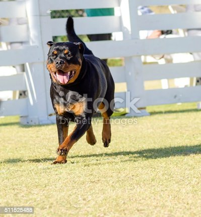 A portrait view of a healthy, robust and proudly looking Rottweiler running on the grass. Rotweillers are well known for being intelligent dogs and very good protectors.