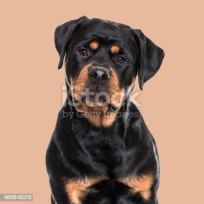 Rottweiler dog sitting against brown background