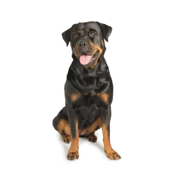 Rottweiler guard dog picture id915447498?b=1&k=6&m=915447498&s=612x612&w=0&h=xqgmhqziecxbz78uvg6fr6puhmswtlm3tjg18267kcm=