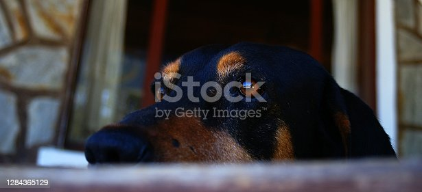 Purebred guard dog is Germany originated and called as Rottweiler looks around.