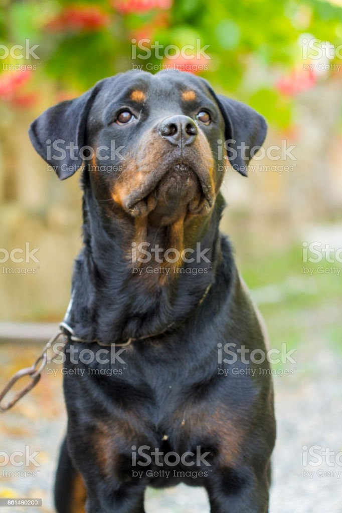 Rottweiler stock photo