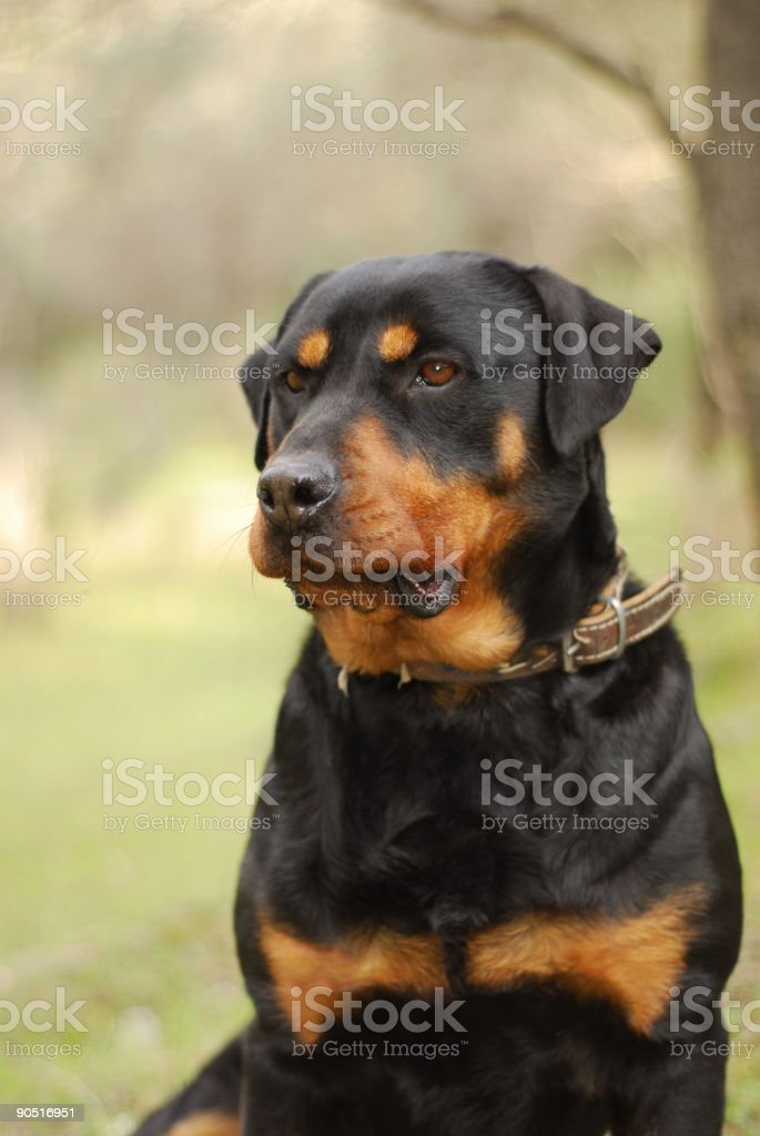 Rottweiler royalty-free stock photo