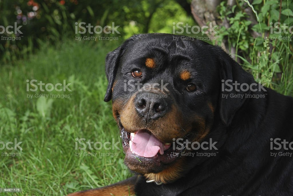 Rottweiler portrait stock photo