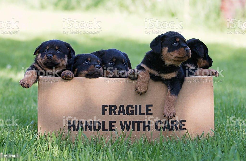 Rottweiler puppies stock photo