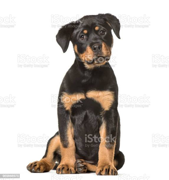 Rottweiler puppy 3 months old sitting against white background picture id959888970?b=1&k=6&m=959888970&s=612x612&h=isk6 kifscvamo5prfmkm1megdk6ineizo9quxq8xzi=