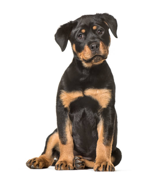Rottweiler puppy 3 months old sitting against white background picture id959888970?b=1&k=6&m=959888970&s=612x612&w=0&h=gyjd98evzejvjoezms8ln560f0txt4xlxwnyfa659te=
