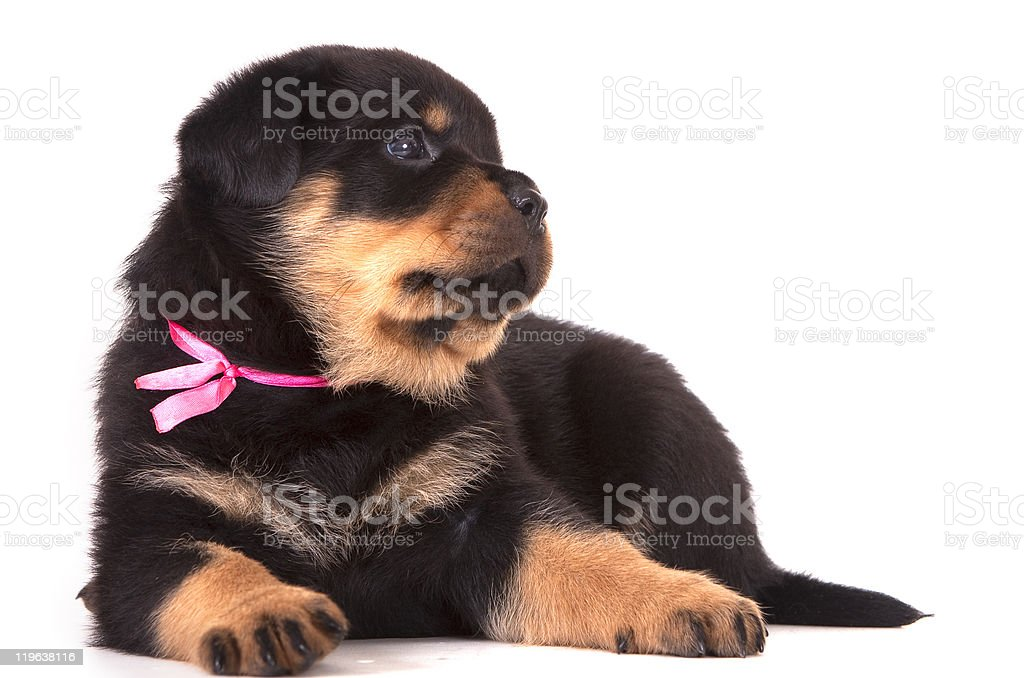 Rottweiler Puppy Age 1 Month Stock Photo More Pictures Of Animal
