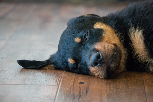 An adorable photo of a Rottweiler puppy asleep indoors on a hardwood floor. The photo is taken at the floor level so it feels as if the viewer is lying on the floor with the puppy.