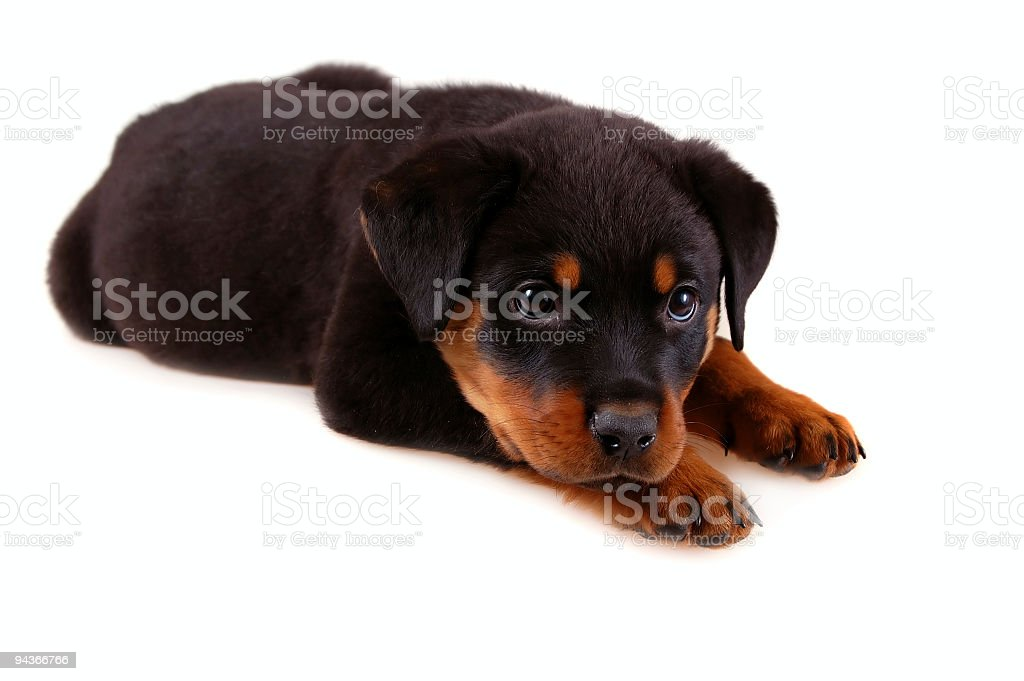 Rottweiler Puppy royalty-free stock photo