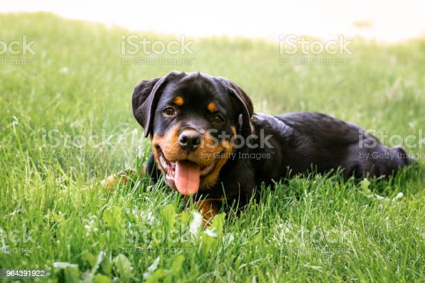 Rottweiler puppy picture id964391922?b=1&k=6&m=964391922&s=612x612&h=fjmd9mzg13in0lbcdqmpvy9t8ijuced03l9priik4bw=