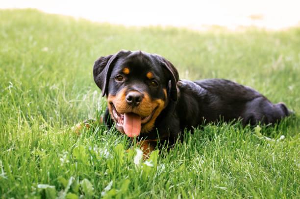 Rottweiler puppy picture id964391922?b=1&k=6&m=964391922&s=612x612&w=0&h=ntrhxevp8dwvcd2gci6nvmguc9l20zz9e04cck9mgoa=