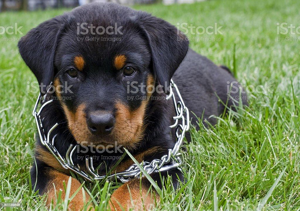 Rottweiler Cucciolo Con Collo Di Formazione Per Adulti Fotografie