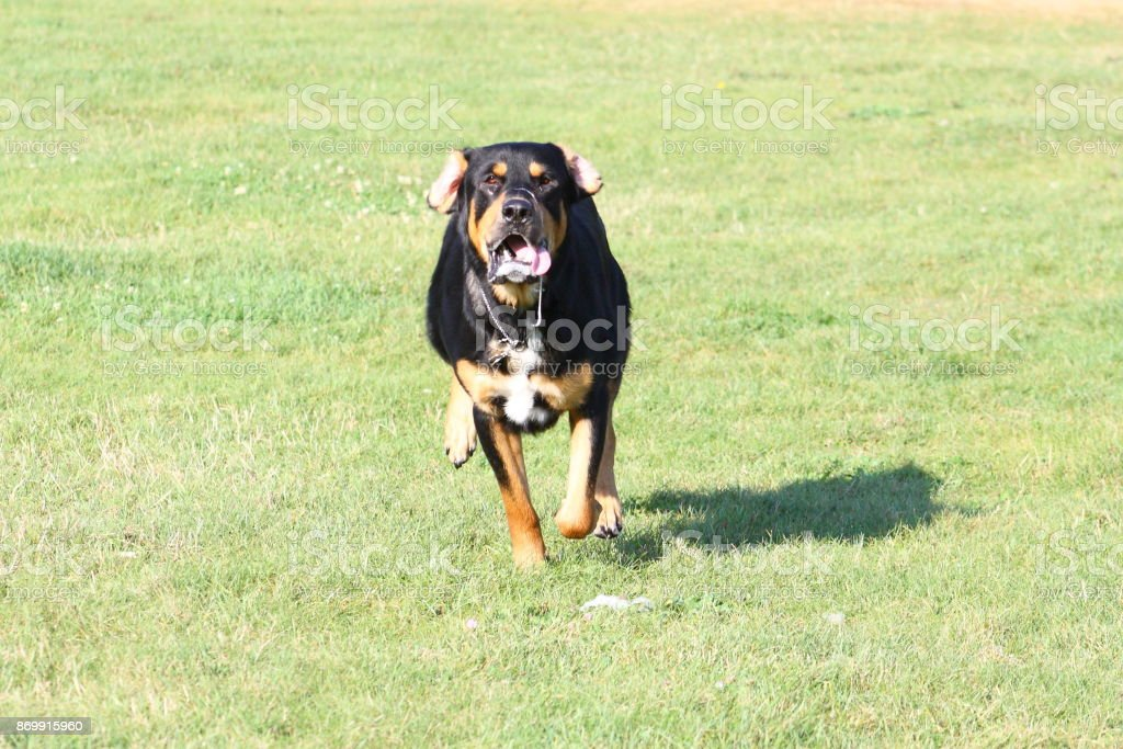 Rottweiler Running Stock Photo More Pictures Of Activity Istock