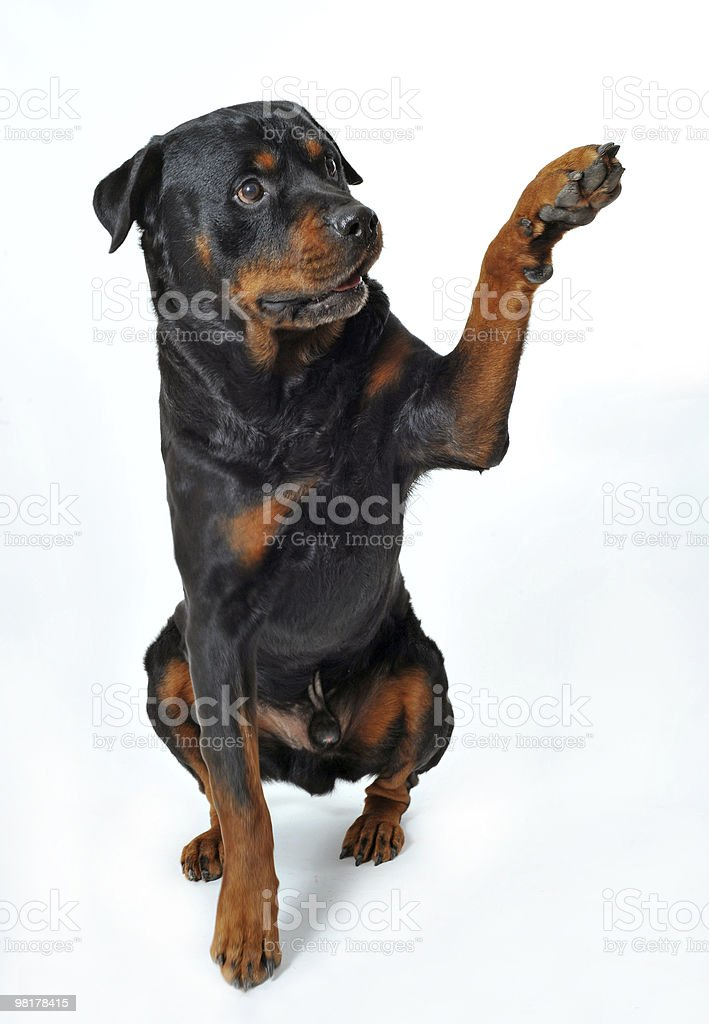 rottweiler say 'hello' royalty-free stock photo