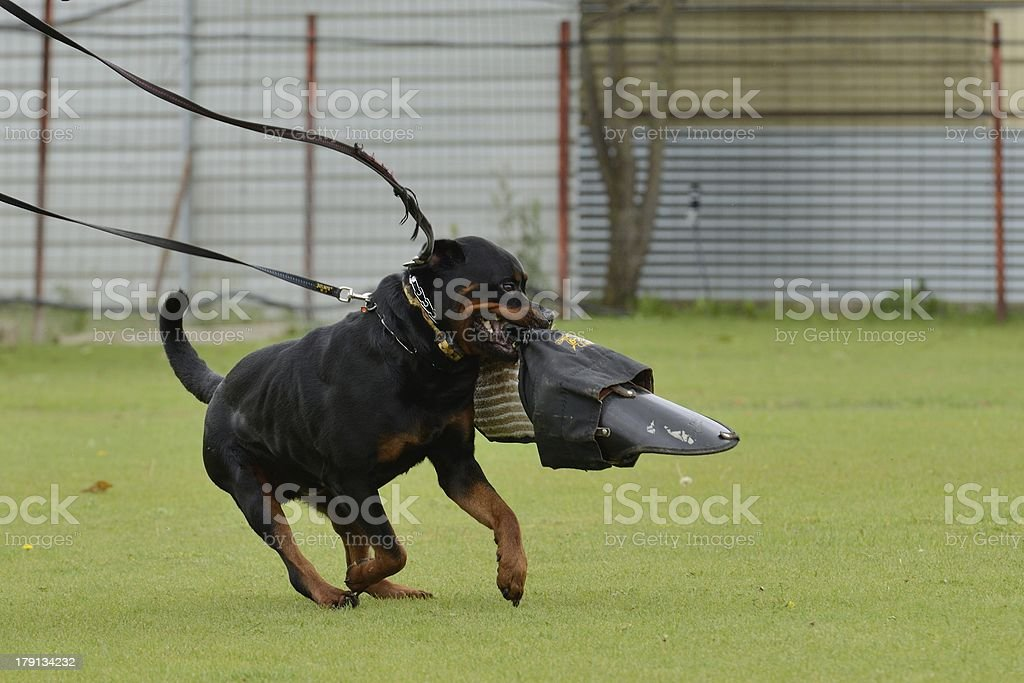 Rottweiler, working test royalty-free stock photo