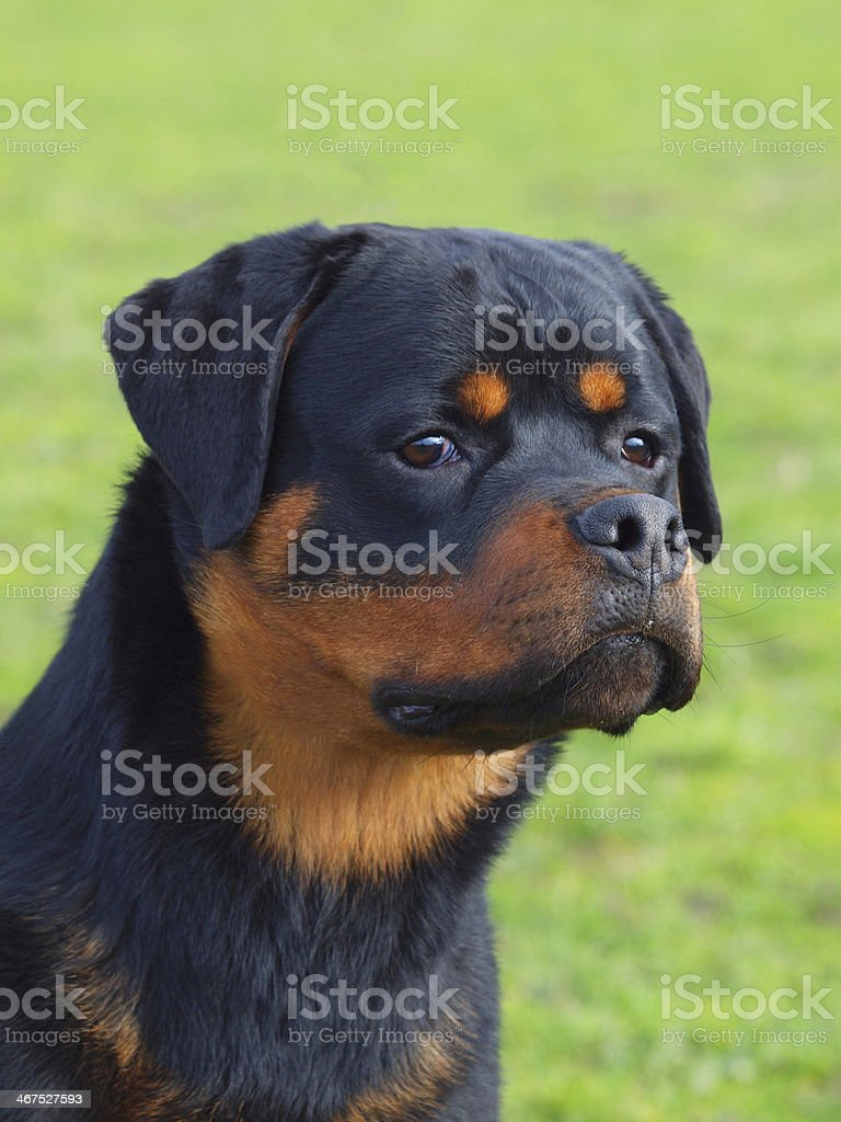 Rotty stock photo