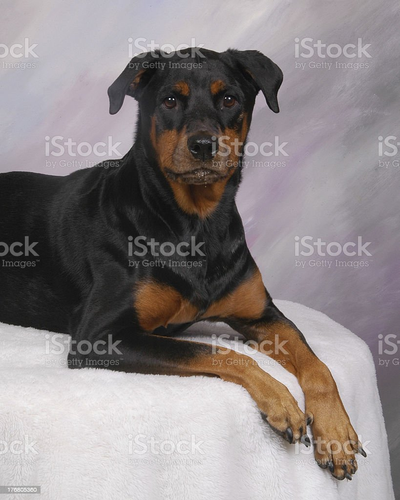 Rotty2 stock photo