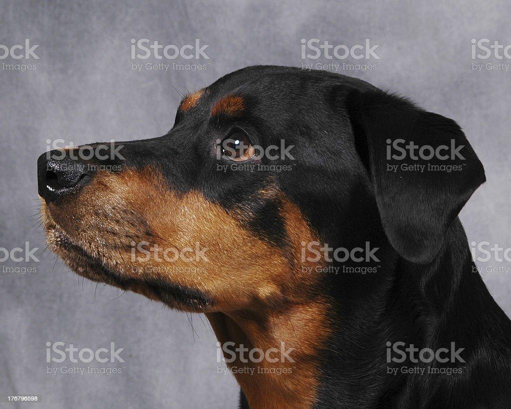 Rotty5 royalty-free stock photo