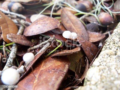 Tiny Marasmius rotula is a common species of agaric fungus