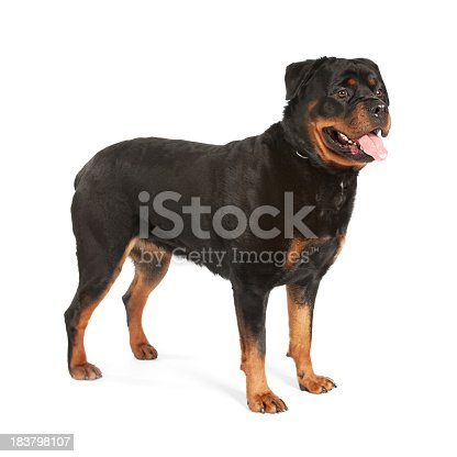 Very clean and shiny female rotweiller photograph