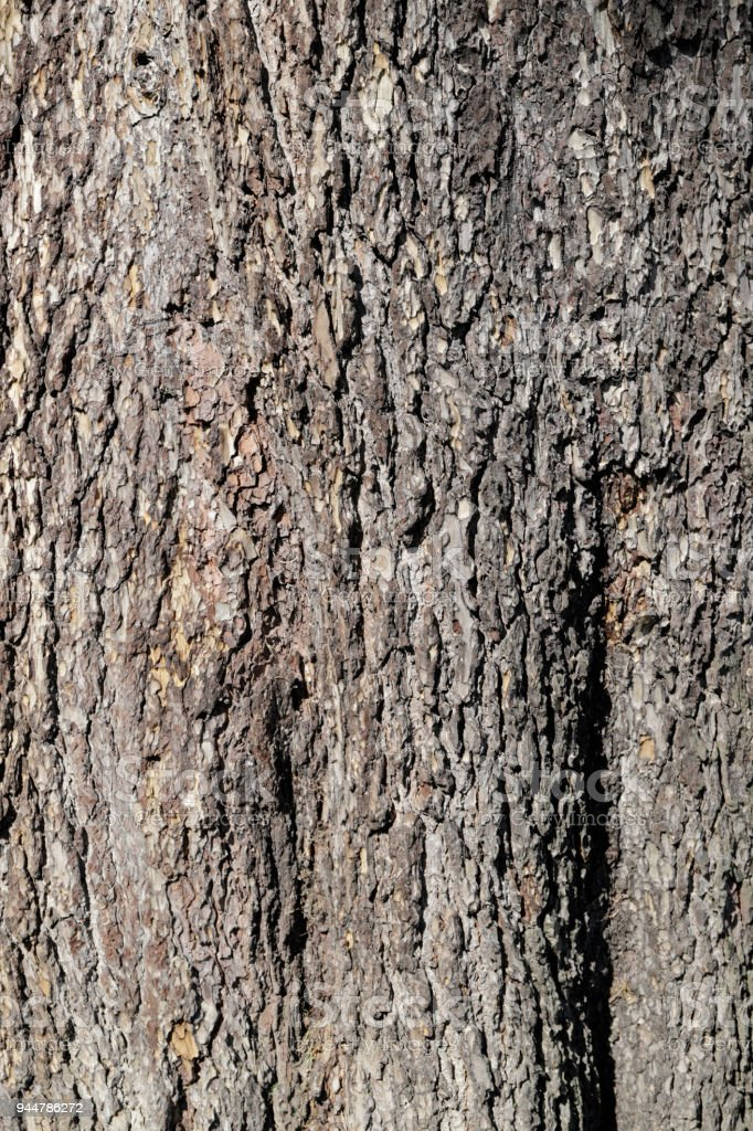 Rough bark background pine tree Pinus nigra stock photo