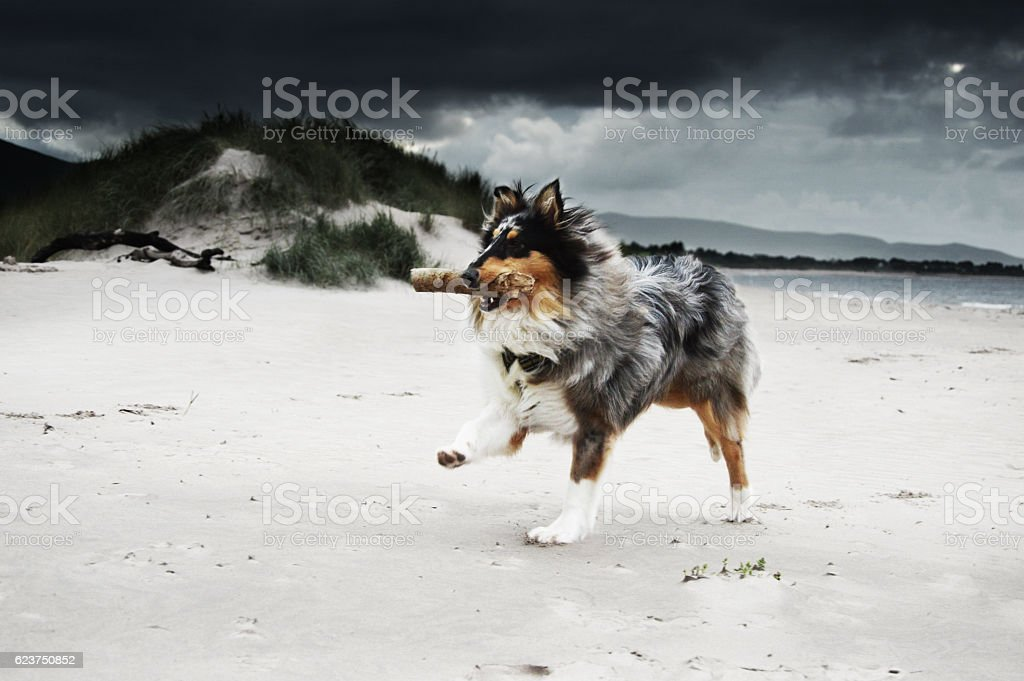 Rough collie dog at the beach with stick stock photo