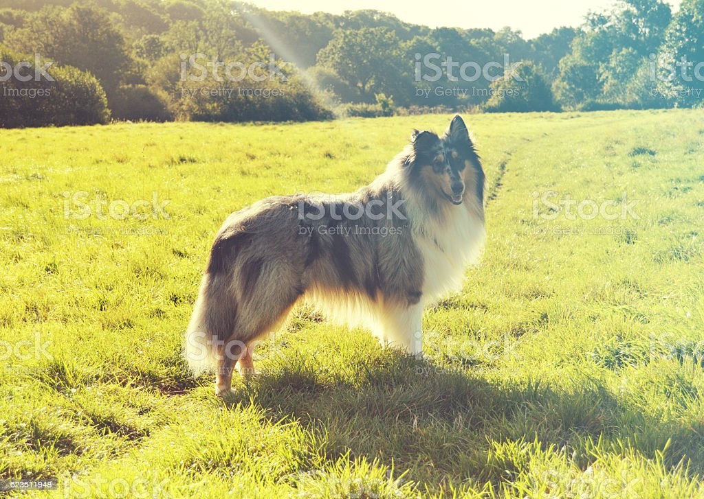 Rough collie dog in field, filtered stock photo