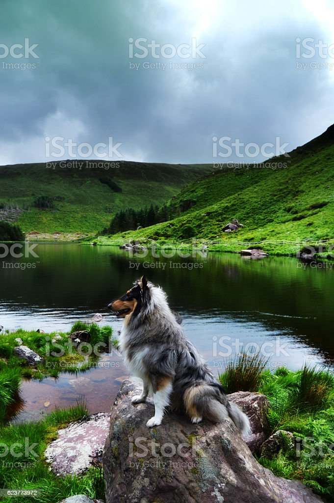Rough collie dog in front of lough stock photo