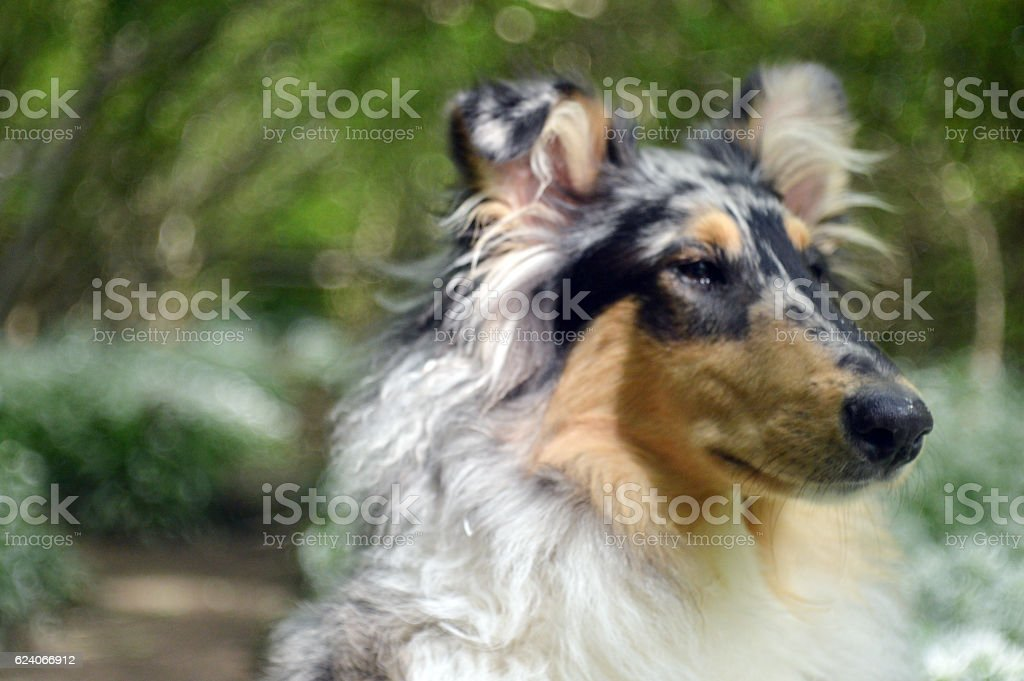 Rough collie dog in woodland stock photo
