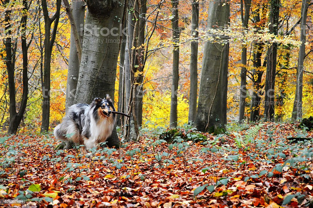 Rough collie dog in woodland, playing fetch stock photo