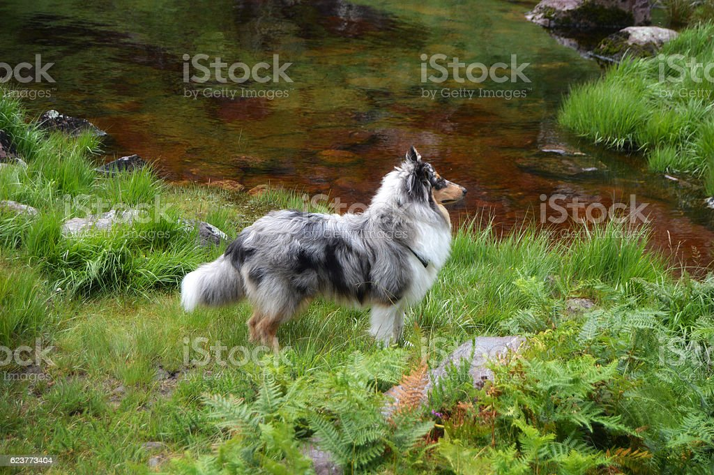 Rough collie dog looking alert by loch stock photo