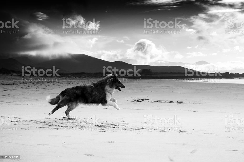 Rough collie dog on beach, black and white stock photo
